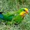 Superb parrot_168A3704