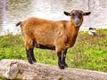 Little Goat & wild Duck at the riverside.