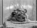 Zoo Lion