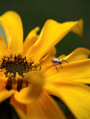 Bright Yellow Flower With An Insect