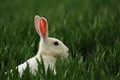 Albino Brown Hare