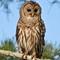 Barred-Owl_1