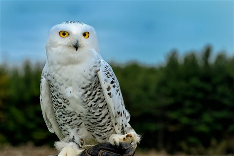 Great White Owl