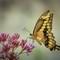 Eastern Tiger Swallowtail Franklin Park Zoo 3 (1 of 1): OLYMPUS DIGITAL CAMERA