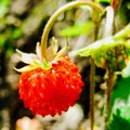 Red - a tiny forest strawberry