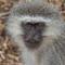 _vervet_monkey