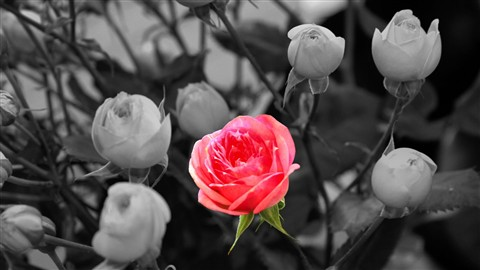 Pink Rose on B & W