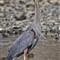 Blue Heron b (1)
