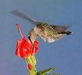 """Arched back of female ruby throated hummer feeding on Turk""""s Cap"""