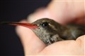 RESCUE A HUMMING BIRD