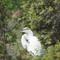 Egret in tree: