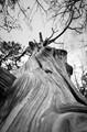 Wood grain details in a dead tree.