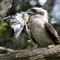 Kinfisher eating Kingfisher