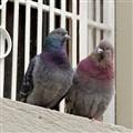 Gossipy Pigeons