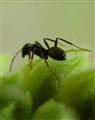 Ant Hurdles