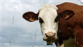 Cow portrait sample
