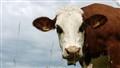 Cow portrait sample