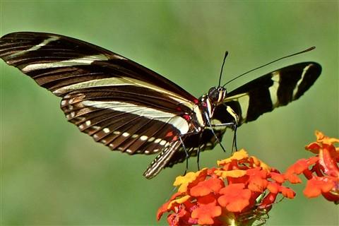 Zebra Heliconia 40190