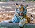 smiling sibirian tiger