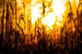 Fiery grass