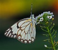 Brown-veined White