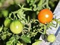 Ripe cherry tomato...