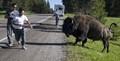 Aggresive Bison
