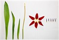 Tulip Deconstructed