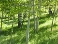 Aspen Grove in Spring