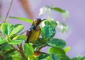 A small colourful bird that feeds on nectar - Asia's answer to the humming bird.