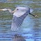 IMG_8541_heron-fly2
