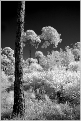CarltonTrees1 copy