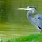 4-12-10 Sterling Great Blue Heron Developed-2