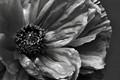 B&W Poppy Flower