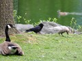 Crow, Crow, Goose