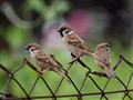 Eurasian 3 Sparrows