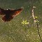 2015-05-08  Male Red-Tipped Black Bird