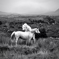 White horses in Connemara - Ireland