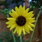 sunflower_bug