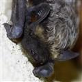 Savi's pipistrelle (Alpenfledermaus)