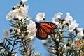 Monarch BF