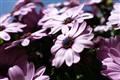 Paula's daisies