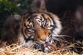 Tiger Eyes