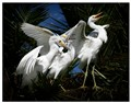 Hungry-Snowy-Egrets