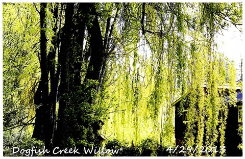 Dogfish Creek Willow