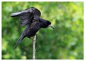 A young rook balancing on a dead birch branch, as seen from my window.