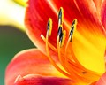 Day Lily...