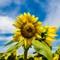 Sunflowers-36