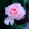 Rose 178