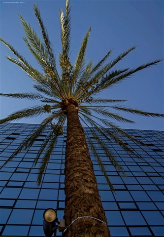 Date palm  (Phoenix dactylifera - Arecaceae) in the city